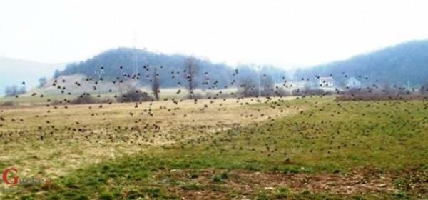 Jedna vrana gakala i po polju skakala ... - nije vrana
