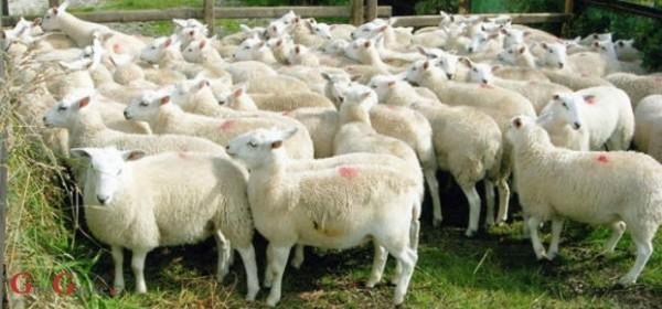 Proizvodnja ovčjeg mesa - u četvrtak popodne