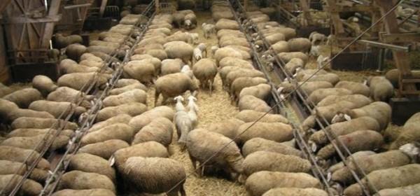 U Gospiću o proizvodnji ovčjeg mesa