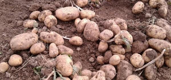 Ove godine bogat urod Ličkog krumpira
