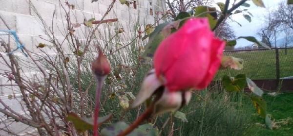 U Božiću cvijetaju ruže u Gackoj