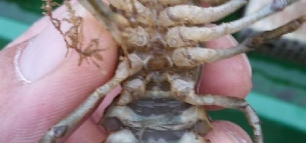 Hrvatskom centaru za autohtone vrste riba i rakova krških voda povjereno razmnožavanje bjelonogih rakova