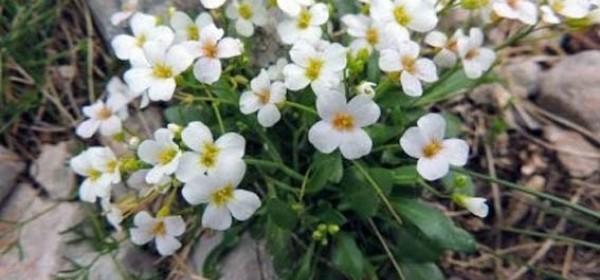 Hrvatska gušarka i Kitaibelov pakujac - endemi potvrđeni i u regiji Gackoj