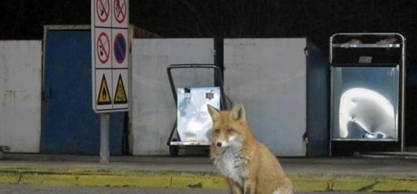 Lisica na cesti! Lisica na cesti!