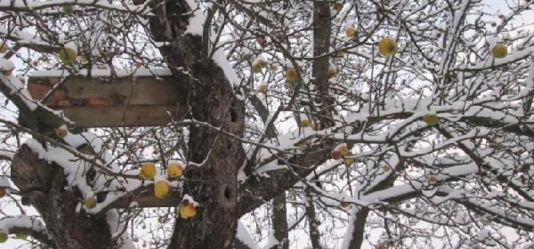 Zimska berba jabuka u Čoviću