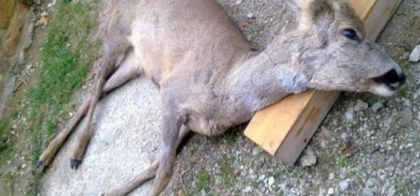 Odstreljena srna u Babinom Potoku pronađena u prtljažniku automobila