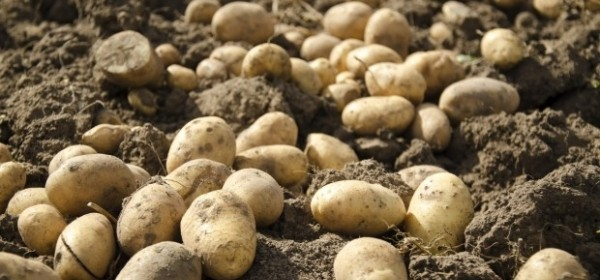 U Otešu s njive otuđio 700 kg krumpira