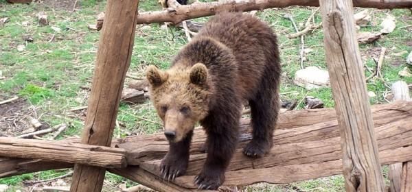 Članovi Interventnog tima za vuka i risa, te tima za medvjede borave u Kuterevu i Krasnu