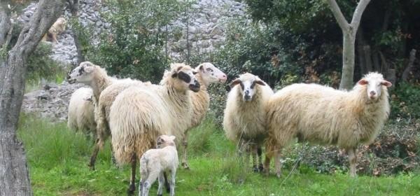 18. Savjetovanje za uzgajivače ovaca i koza i 17. Izložbu hrvatskih ovčjih i kozjih sireva