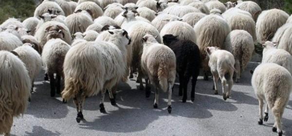 Go za vunu