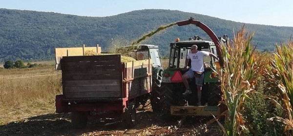 Siliranje kukuruza