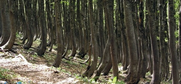 Velebitske šume - svjetska prirodna baština