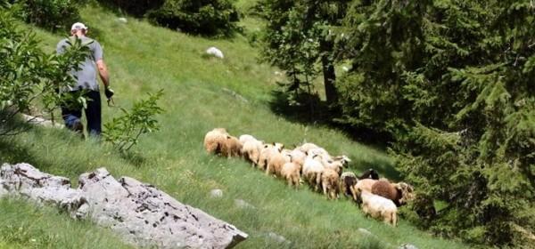 Kako ovce spašavaju Velebit