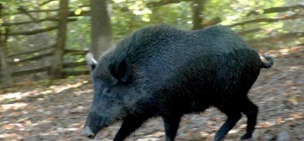 Električne ograde za divlje svinje i - dabrove