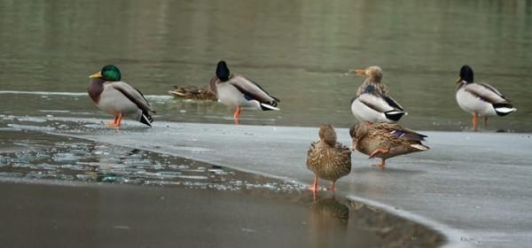 Zimsko prebrojavanje ptica na Plitvičkim jezerima