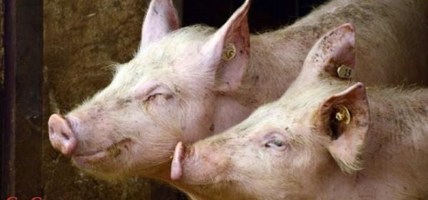 Program potpore proizvođačima tovnih svinja u e-savjetovanju