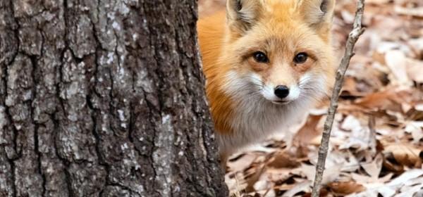Započela akcija oralne vakcinacije lisica protiv bjesnoće