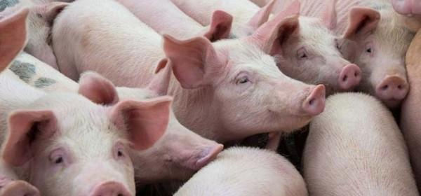 Tri milijuna kuna potpore proizvođačima tovnih svinja