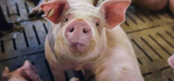 Potpora porizvođačima tovnih svinja