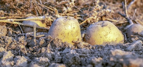 115 milijuna kuna za skladišta krumpira