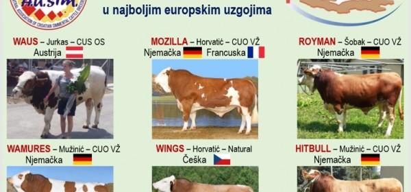 Povijesni uspjeh hrvatskog uzgoja goveda