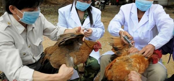 Sad još i ptičja gripa
