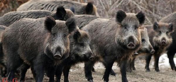 Uskoro jedinstveno osiguranje za štete od divljači koje će uključiti i poljoprivredne usjeve