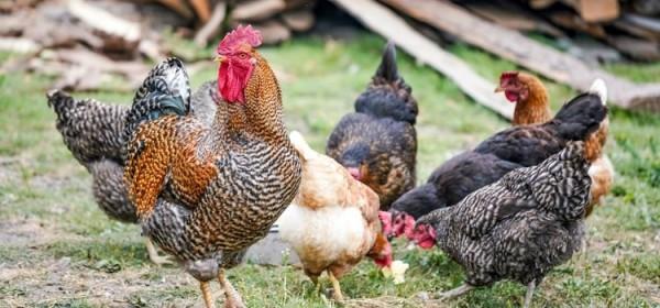 Na snazi posebne mjere suzbijanja i širenja influence ptica