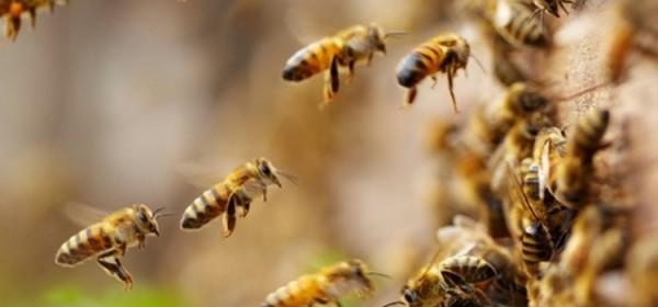 Objavljen Pravilnik o provedbi Nacionalnog pčelarskog program od 2020. godine