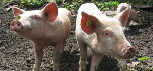 Projekti izgradnje reprocentara u svinjogojstvu vrijedni 410 milijuna kuna
